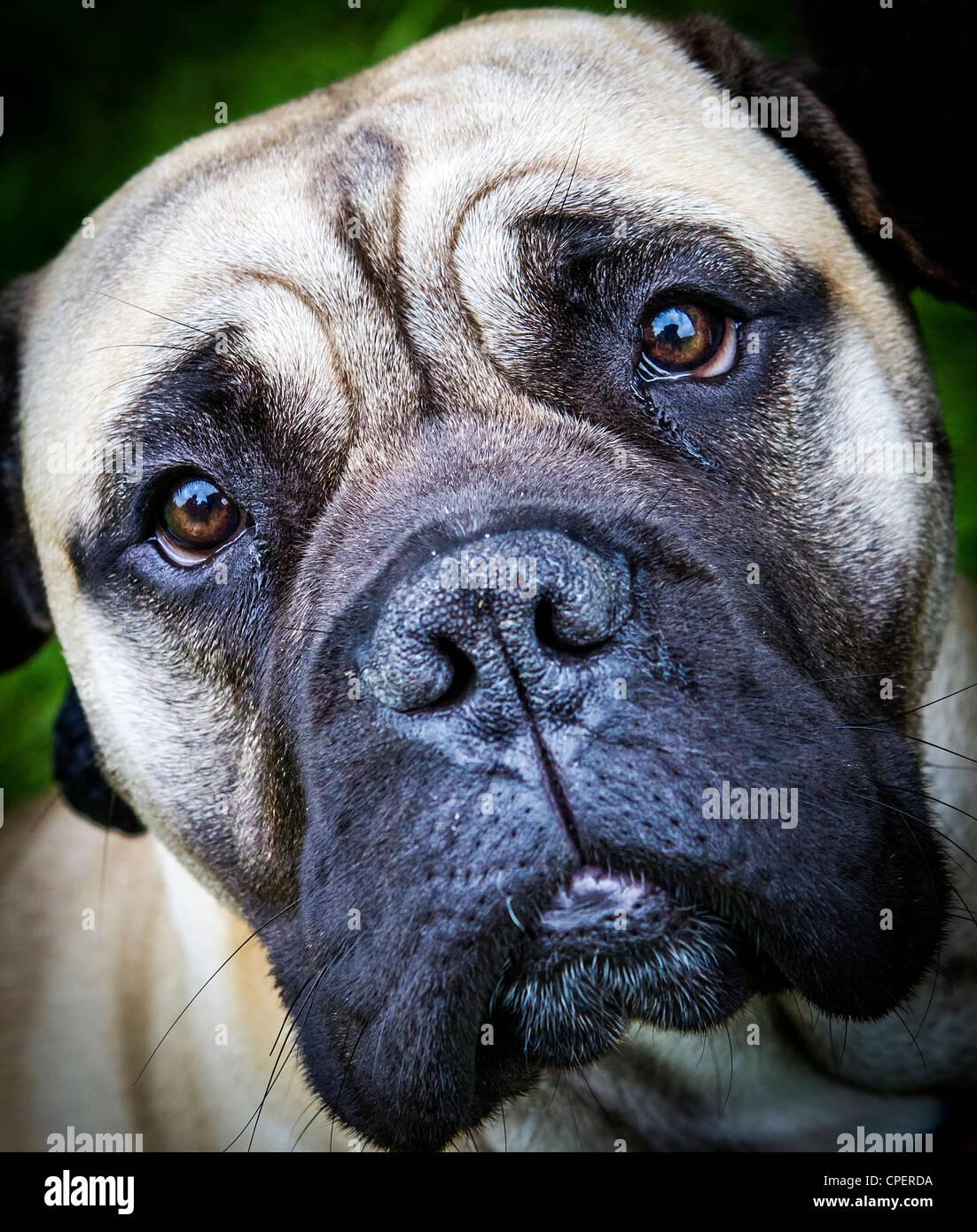 Close up of a Bullmastiff dog's face - Stock Image
