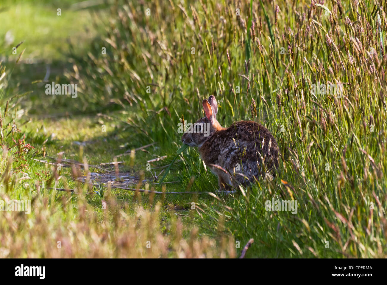 Hare and grass field - Stock Image