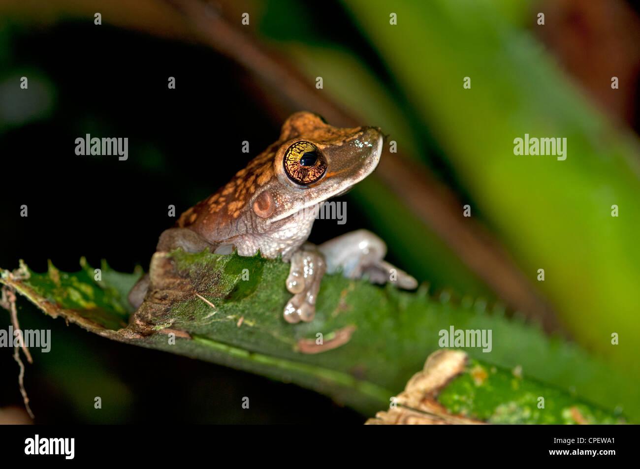 Osteocephalus sp., a Bony-headed Treefrog, Tiputini rain forest, Yasuni National Park, Ecuador - Stock Image