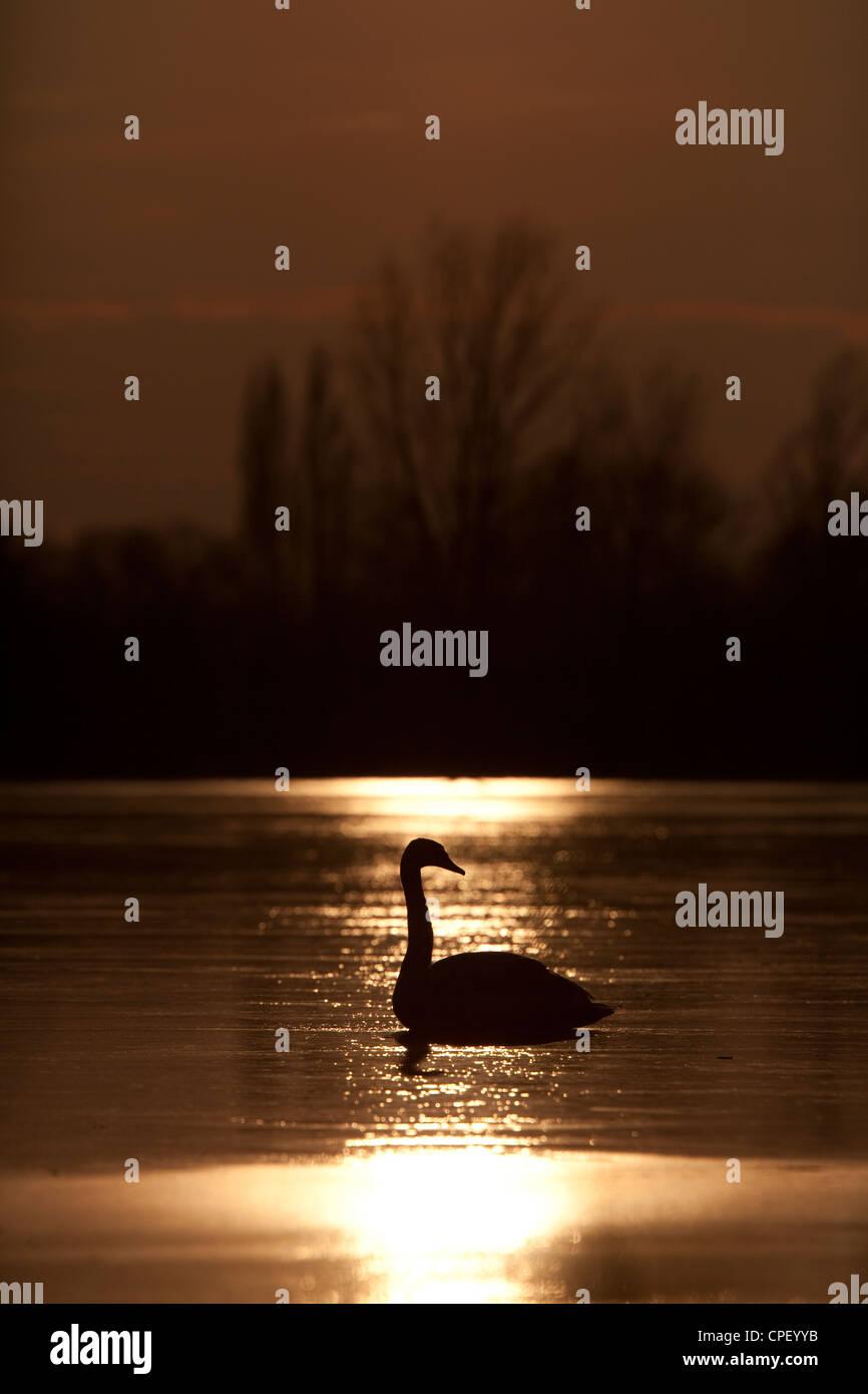 Swan on a frozen lake at sunset. Kraaijenbergse plassen, the Netherlands. - Stock Image