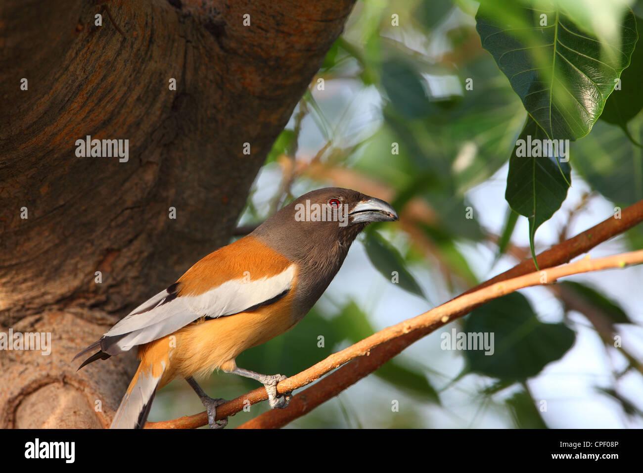 Indian Treepie - Stock Image