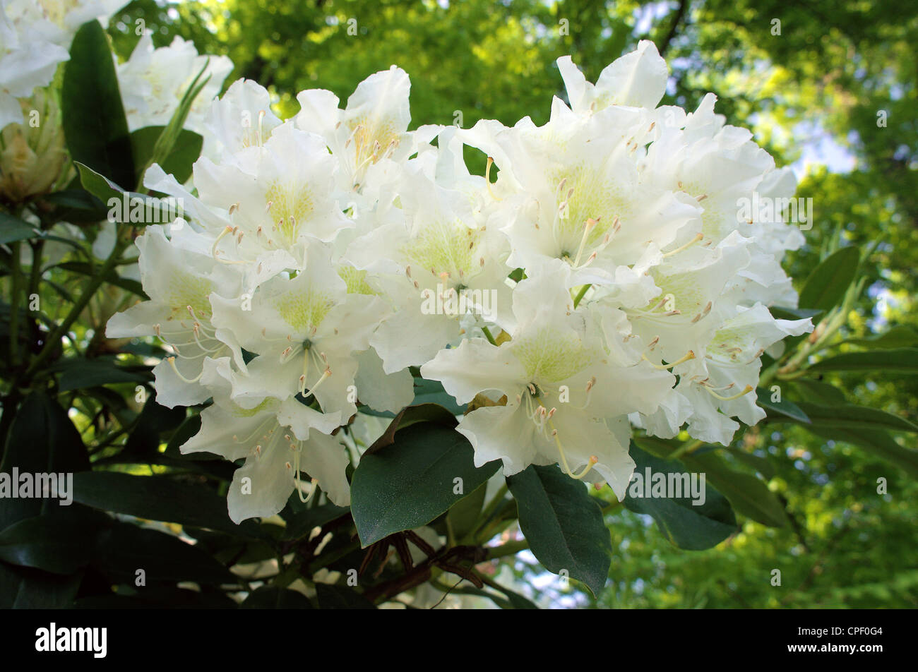 White Rhododendron rich abundant blossom - Stock Image