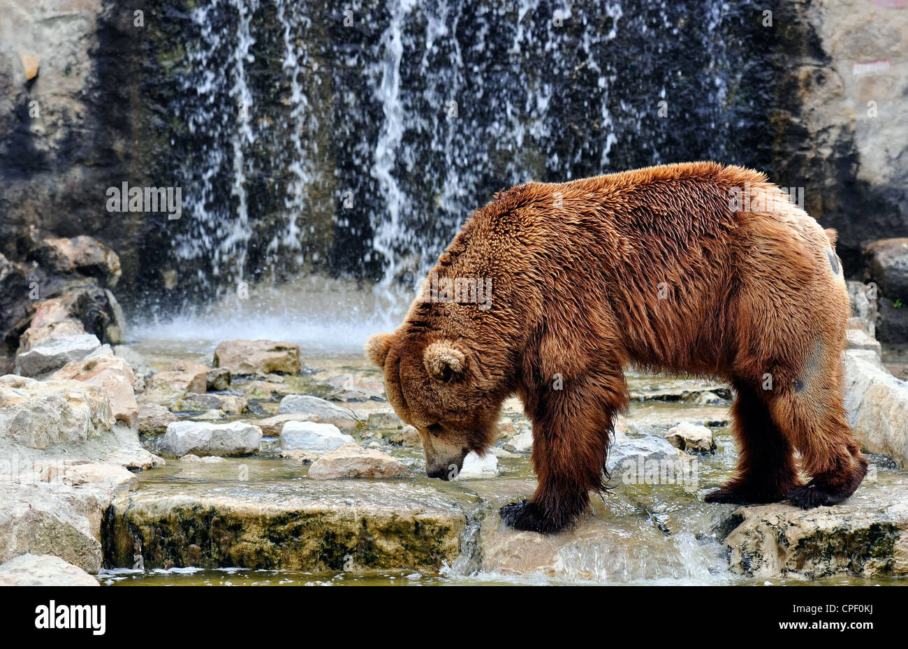 Brown bear (Ursus arctos) is a large bear distributed across much of northern Eurasia and North America - Stock Image