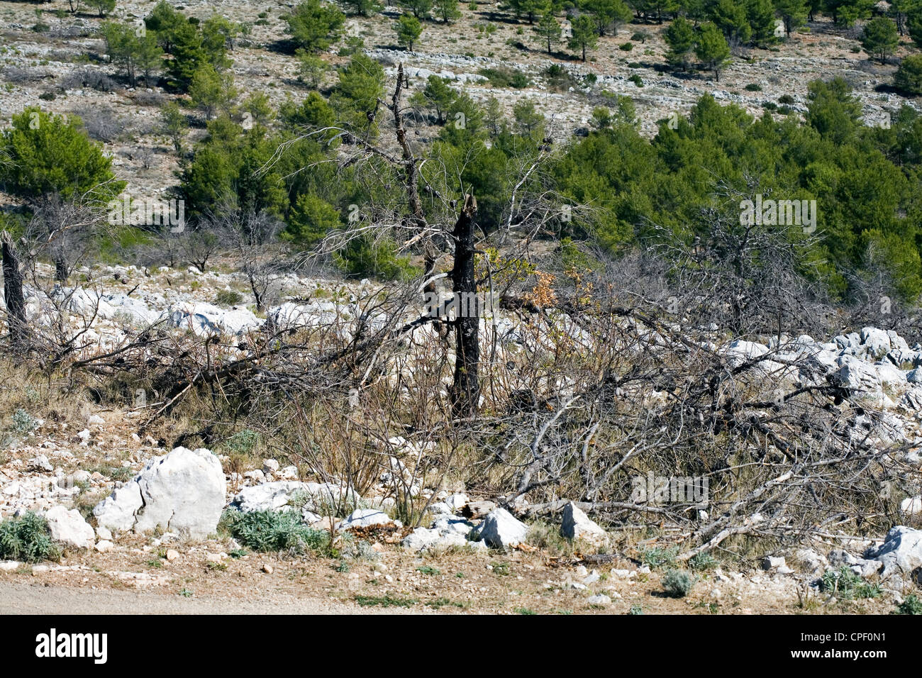 Burnt tree Aleppo Pine possibly from shelling during Croation War Mount Srd above Dubrovnik Dalmatia Croatia - Stock Image