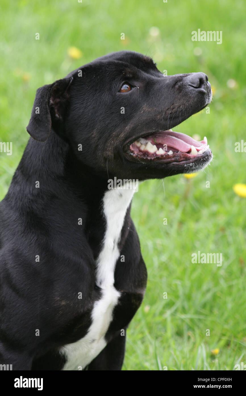 Black staffordshire bull terrier - Stock Image