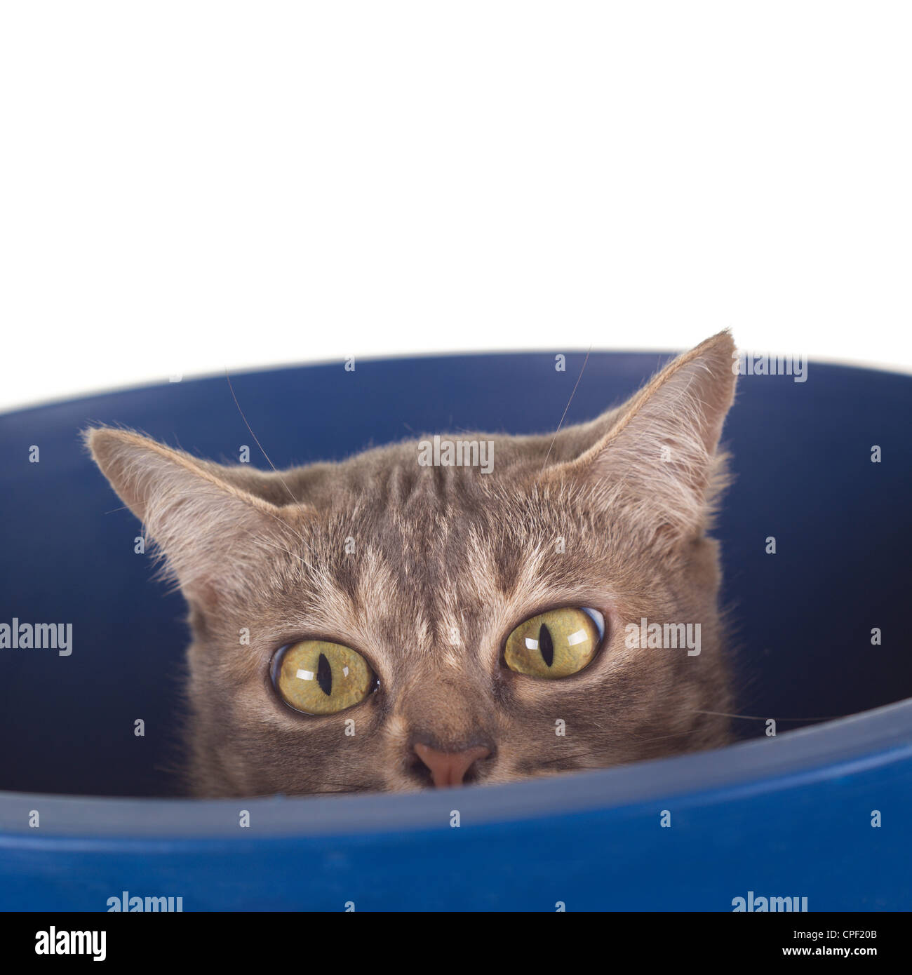 Tabby Cat with Crooked Nose in a Bucket - Stock Image
