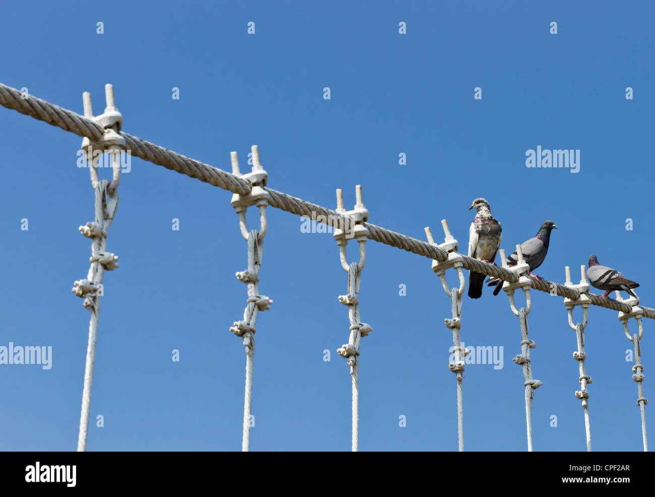 Pigeons on white sling - Stock Image