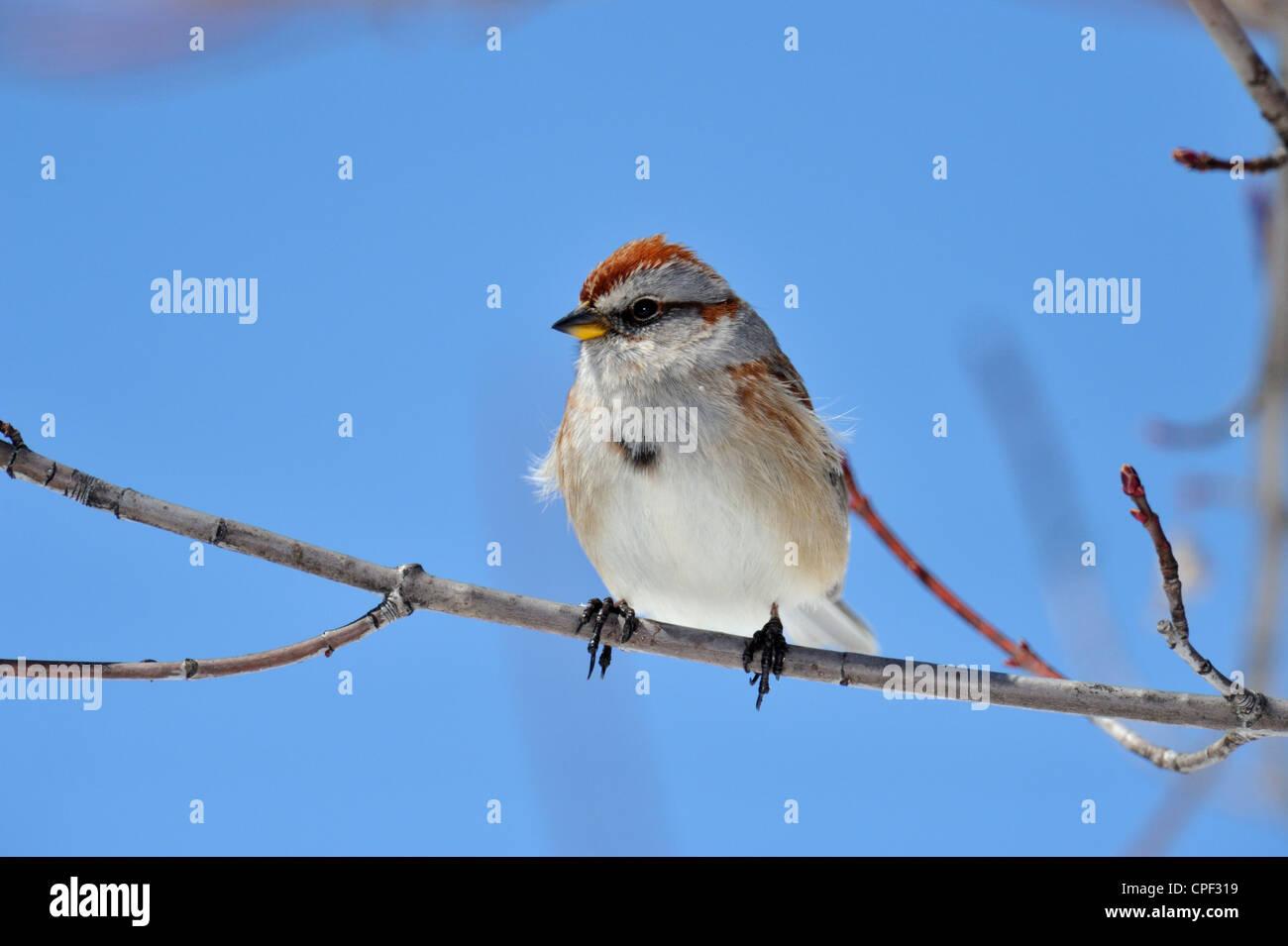 American Tree Sparrow (Spizella arborea), Greater Sudbury, Ontario, Canada - Stock Image