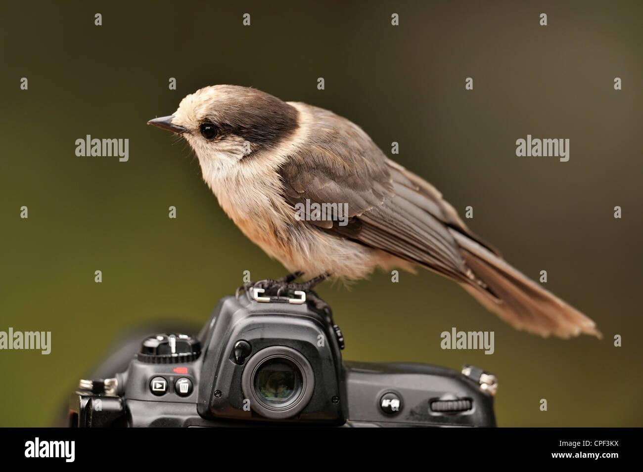 Gray jay (Perisoreus canadensis) Perched on a Nikon camera