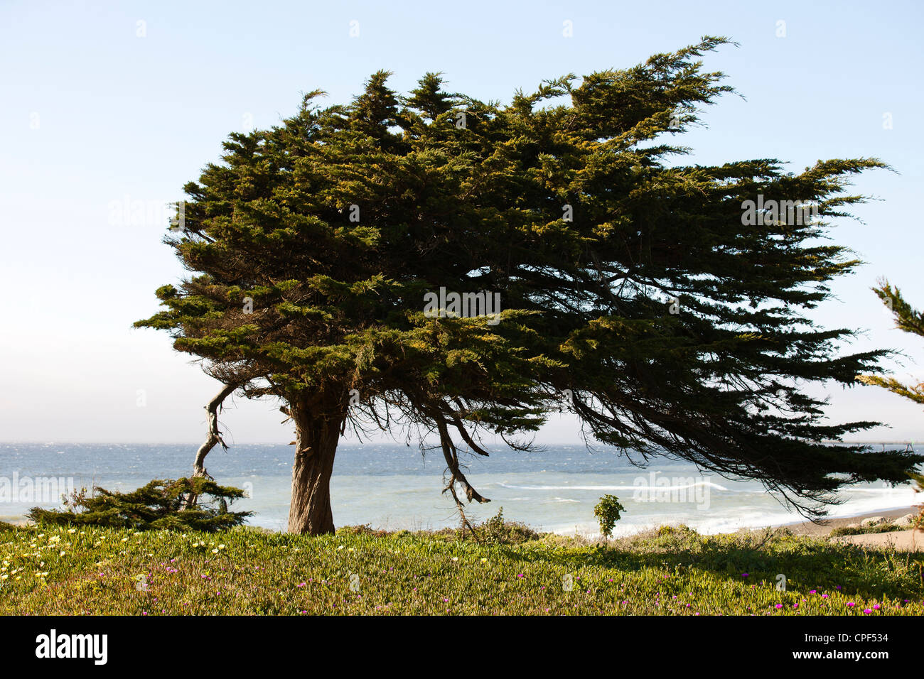 Cypress Tree - Stock Image