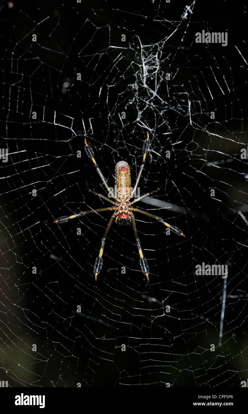 Golden orb-weaver female - Stock Image