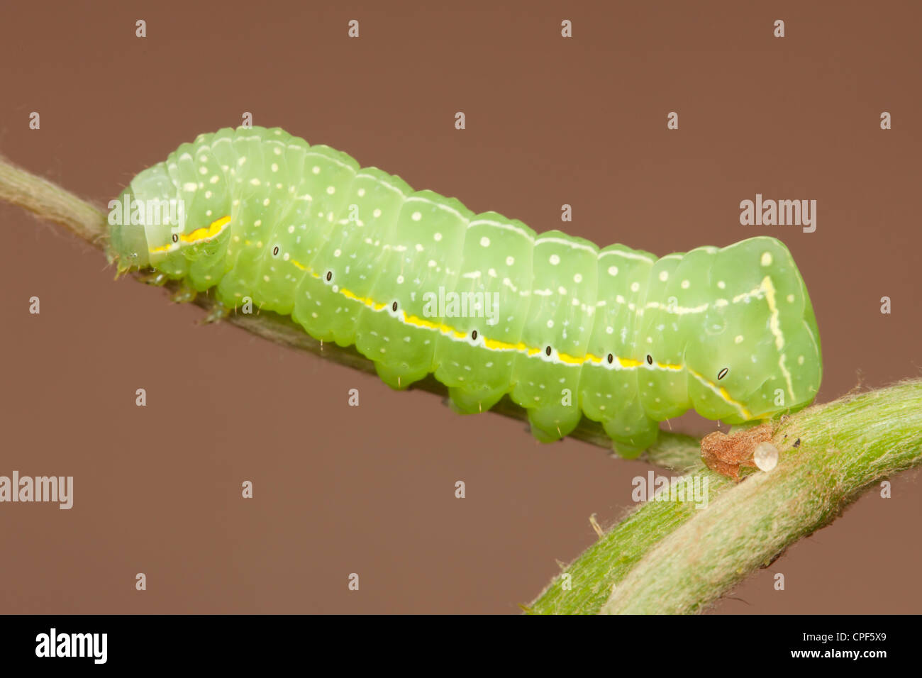 A Copper Underwing Moth (Amphipyra pyramidoides) caterpillar (larva) on a wild grape plant - Stock Image