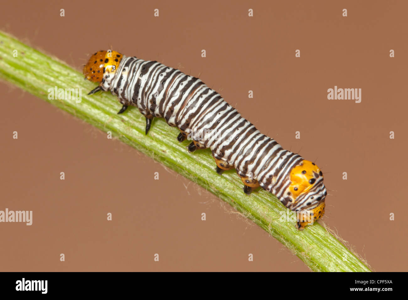 Grapevine Epimenis Moth (Psychomorpha epimenis) caterpillar (larva) on a wild grape plant - Stock Image