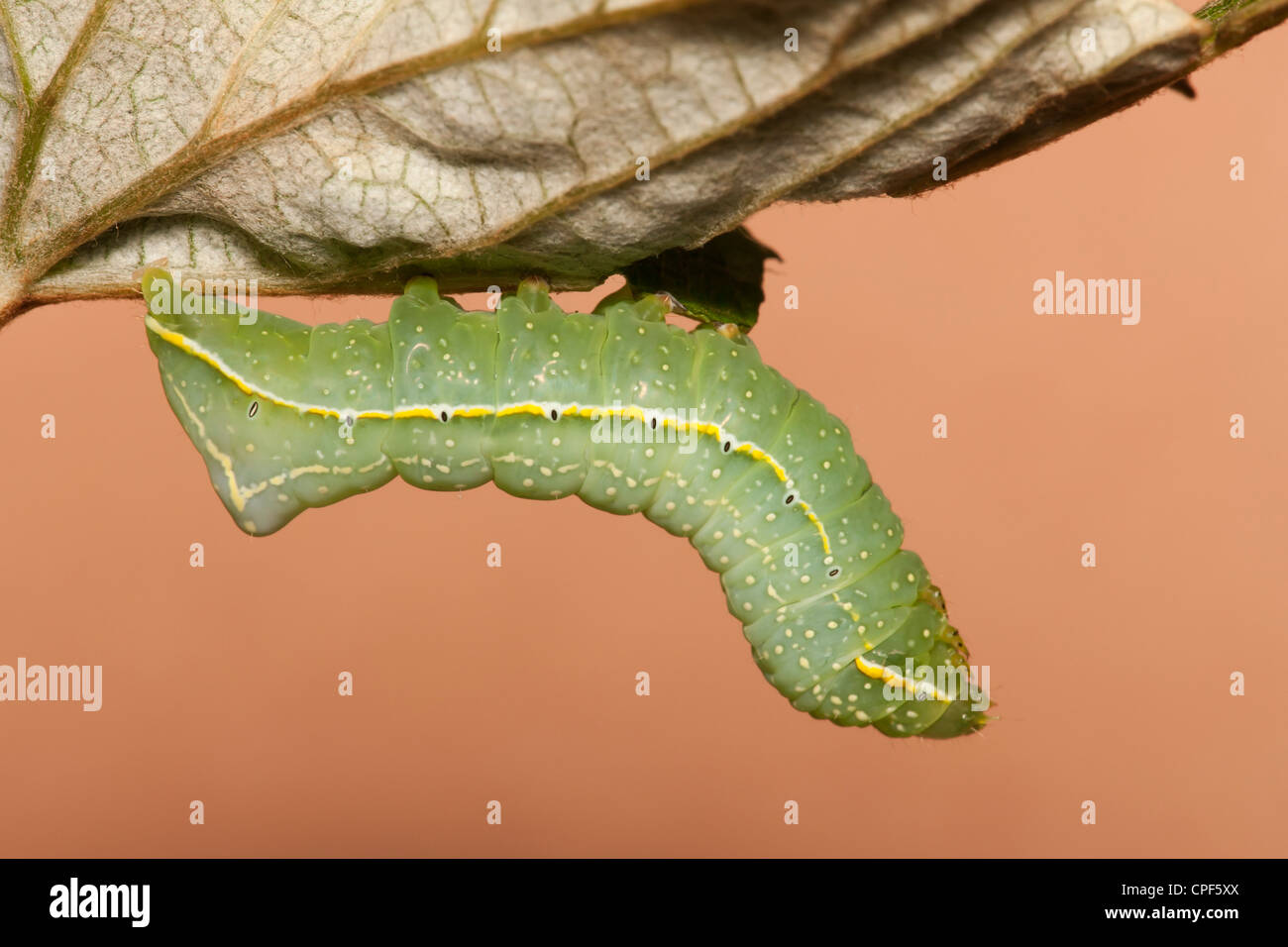 A Copper Underwing Moth (Amphipyra pyramidoides) caterpillar (larva) feeding on a wild grape leaf - Stock Image