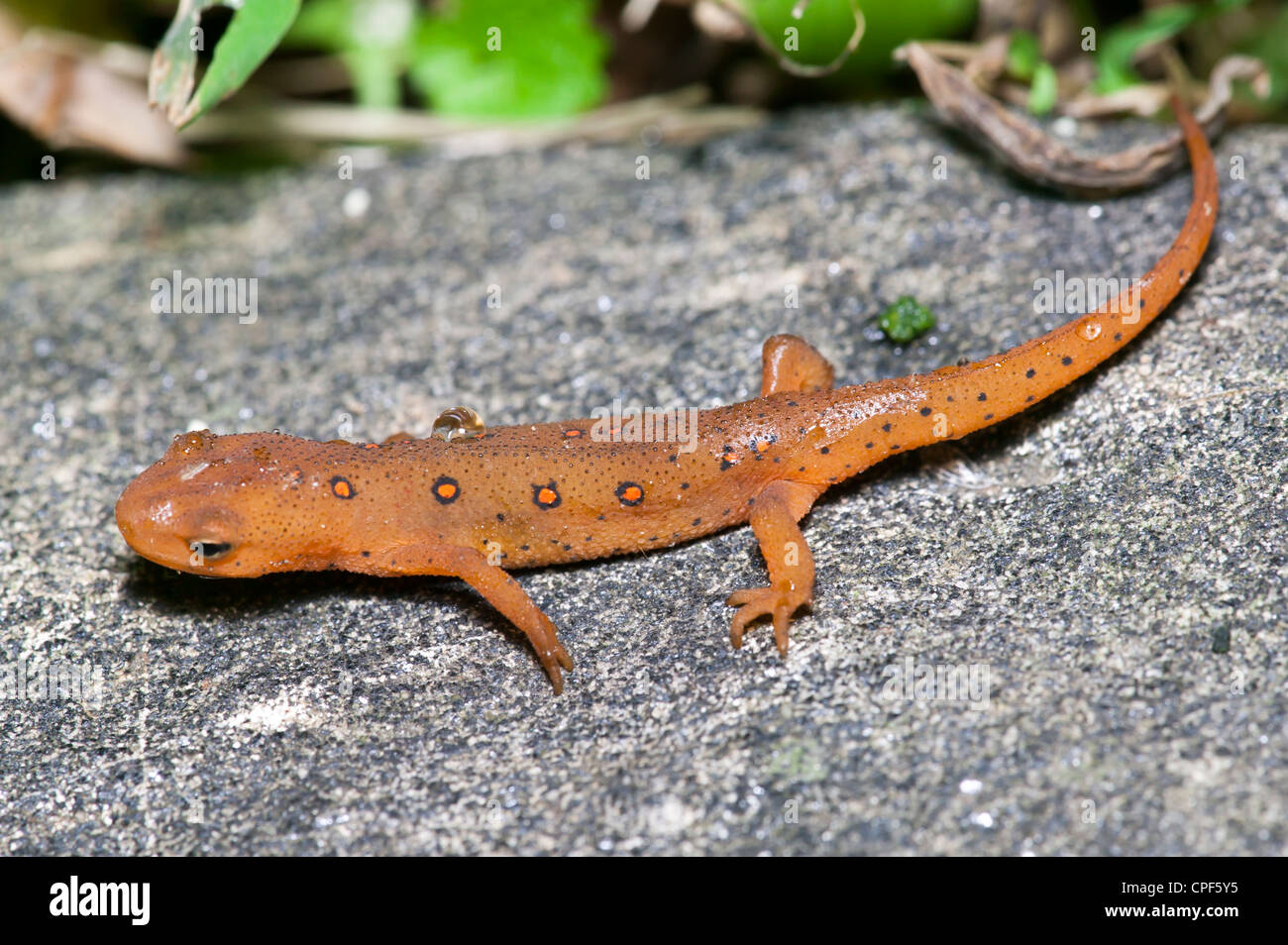 The terrestrial juvenile stage of a Red-spotted Newt (Notophthalmus viridescens) salamander on a rock near a wet forested area. Stock Photo