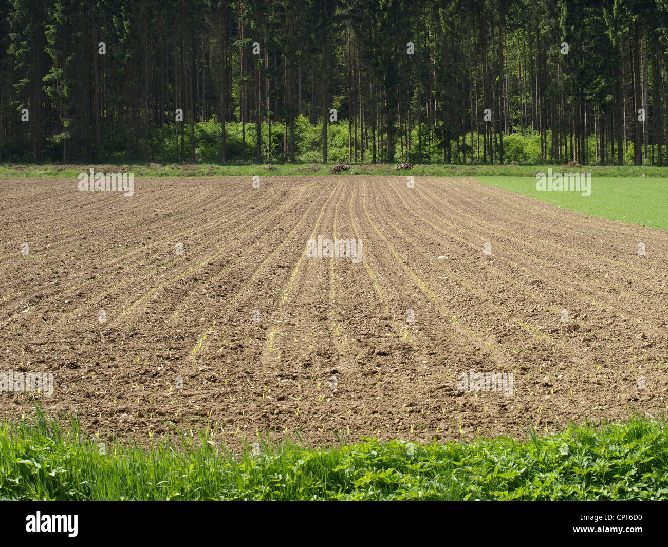 maize field / Zea mays / Maisfeld - Stock Image