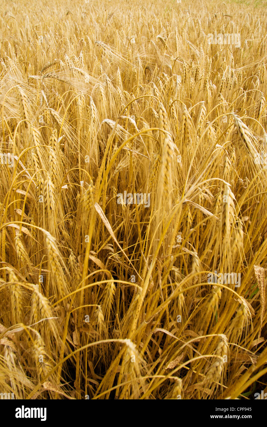 field of grain - Stock Image
