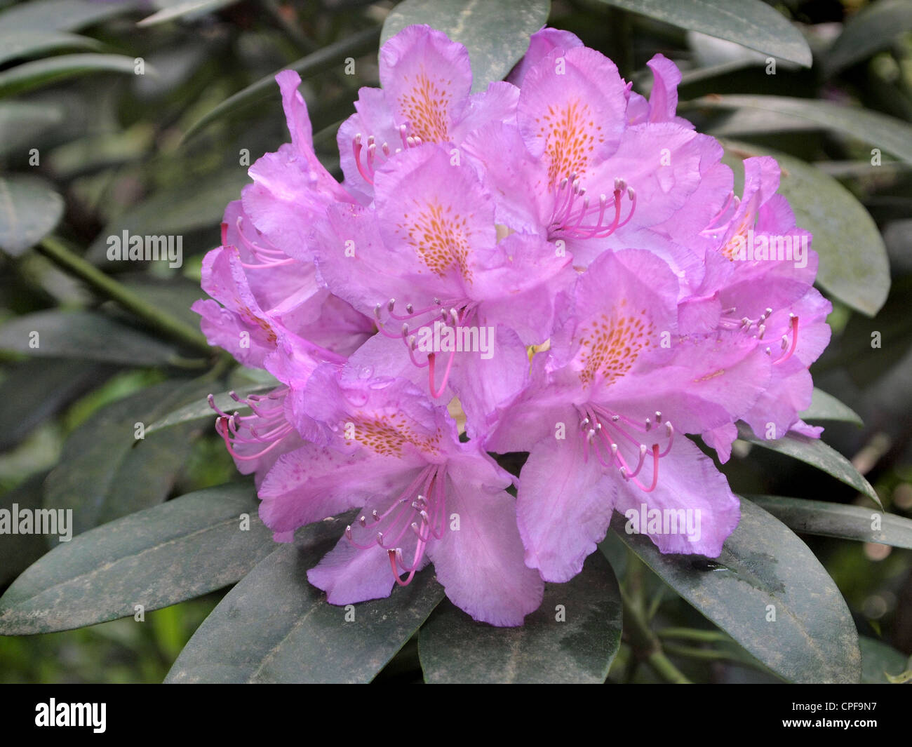 Close up of pink Rhododendron flower Kaatsheuvel, the Netherlands Stock Photo