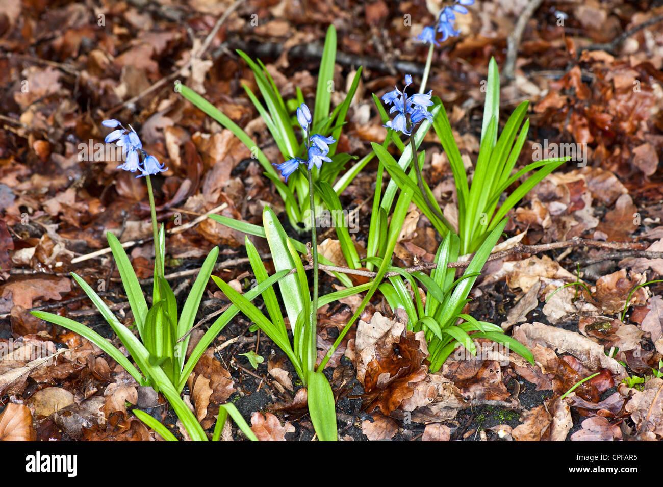 Bluebell, Wild Flower Stock Photo