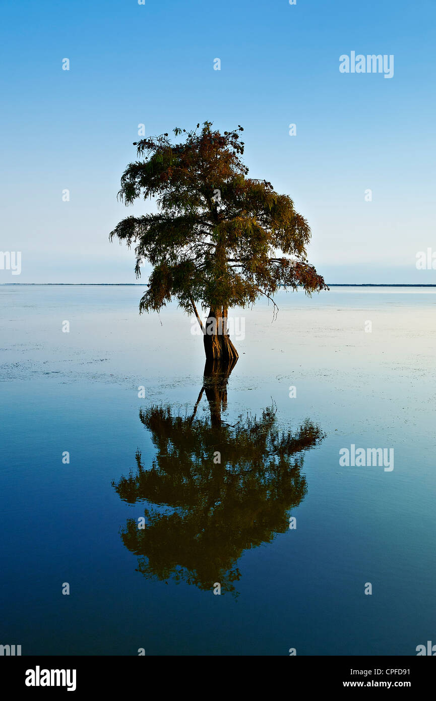 Lone cypress tree in brackish water, Taxodium distichum - Stock Image