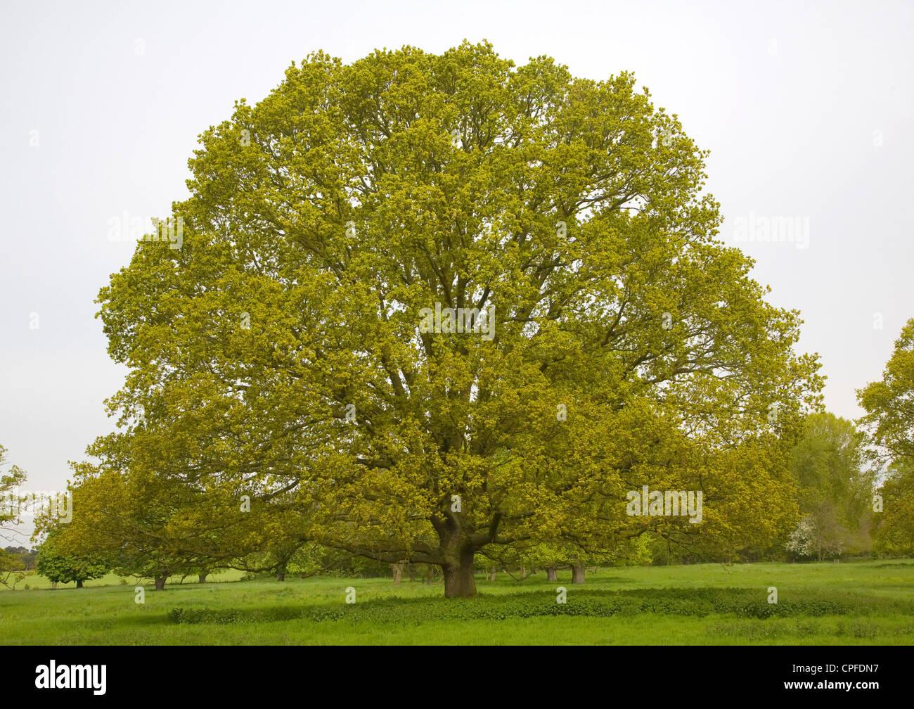 Oak tree Quercus robur, Sutton, Suffolk, England - Stock Image