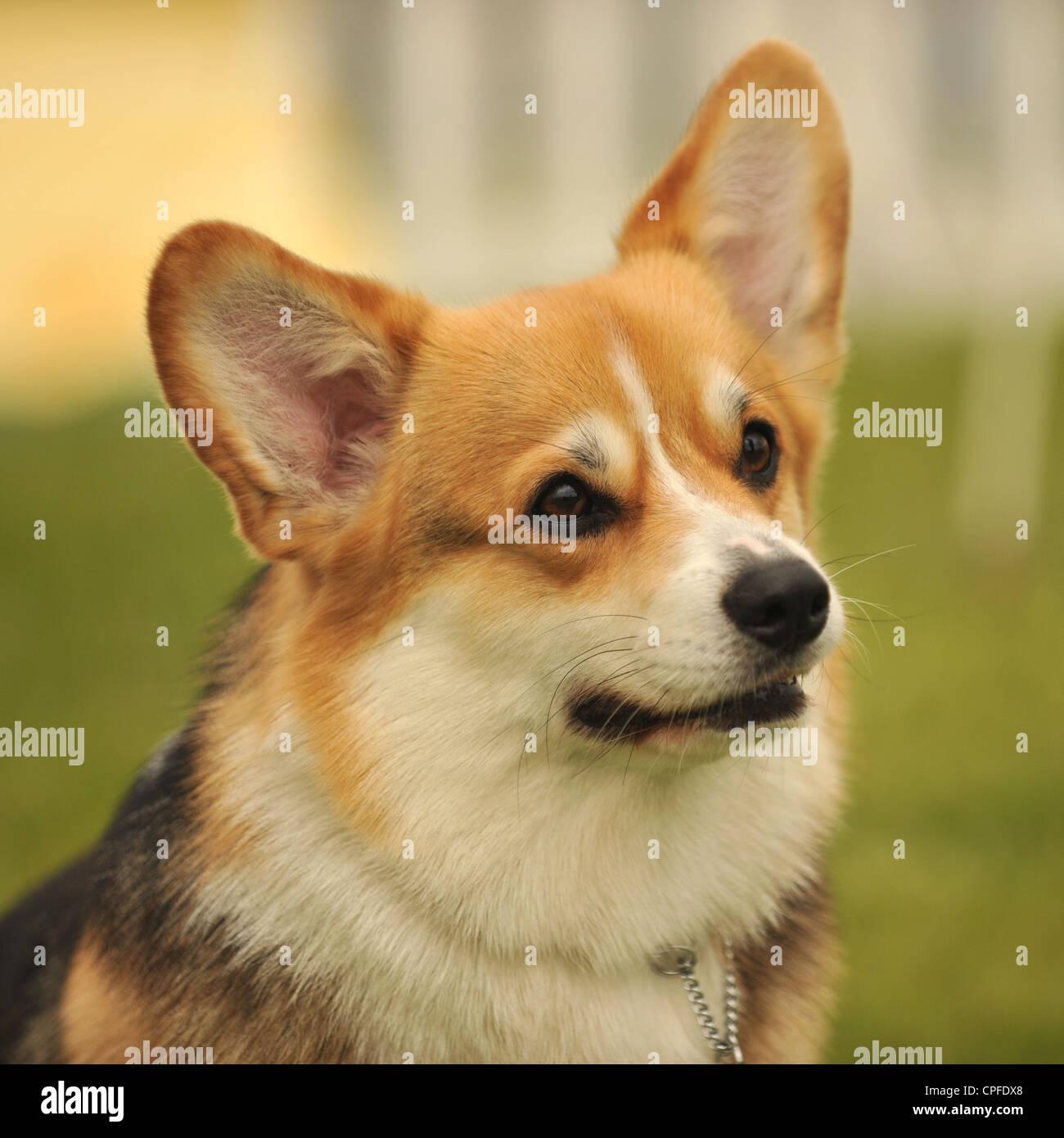 pembroke corgi dog - Stock Image
