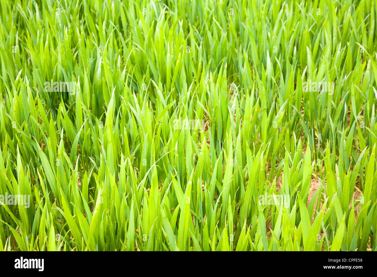 Green shoots emerge from soil - Stock Image