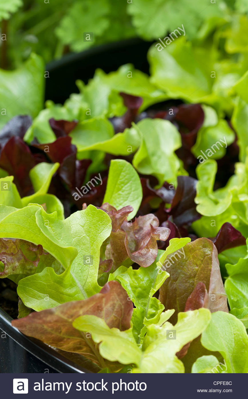 mixed salad bowl lettuce Lactuca sativa spring summer leaf foliage vegetable container grown home organic edible - Stock Image