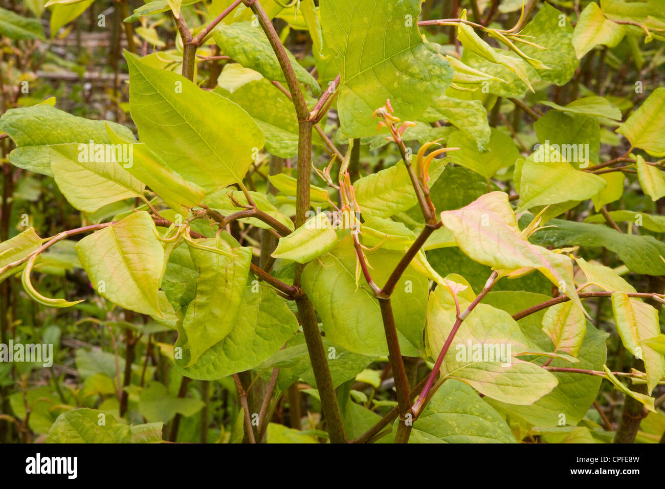 Japanese knotweed plant Fallopia japonica close up - Stock Image