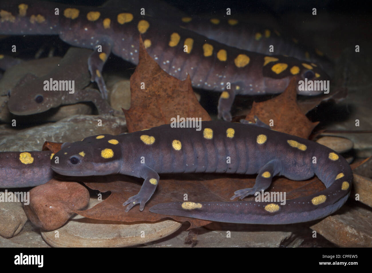 Spotted Salamander (Ambystoma maculatum) - New York - USA - spring breeding -also Jefferson's salamander,(A. - Stock Image