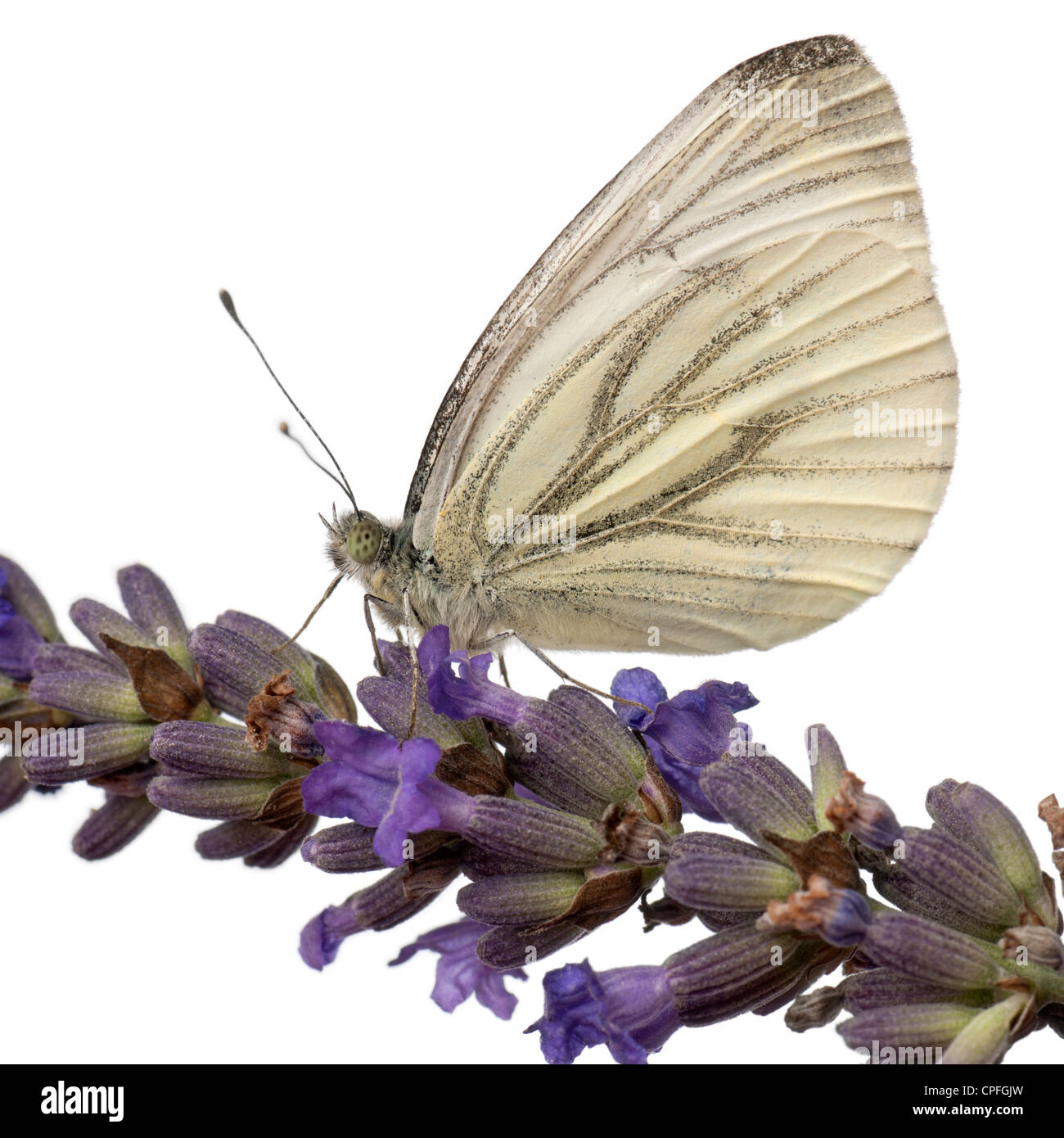 Green-Veined White Butterfly, Pieris napi, on flower against white background - Stock Image