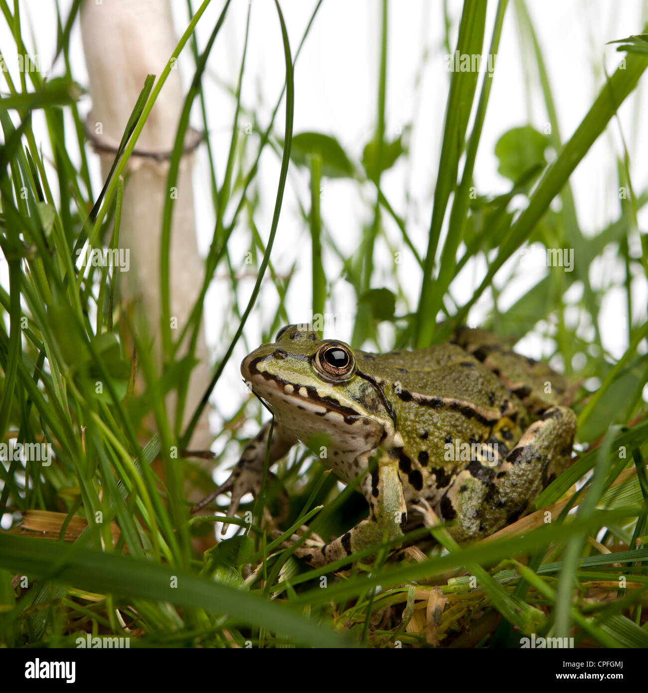 Common European frog or Edible Frog, Rana esculenta in grass, against white background - Stock Image