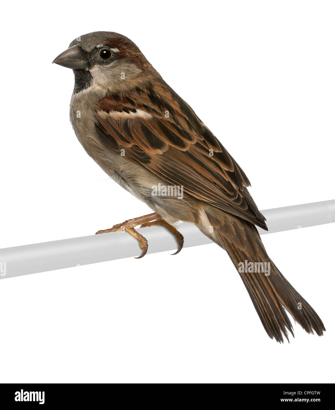 Male House Sparrow, Passer domesticus, 5 months old, perching against white background - Stock Image