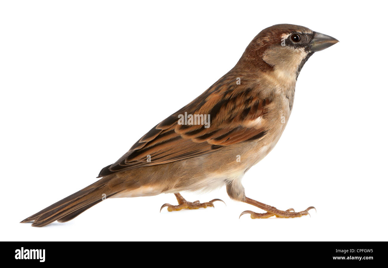 Male House Sparrow, Passer domesticus, 5 months old, against white background Stock Photo