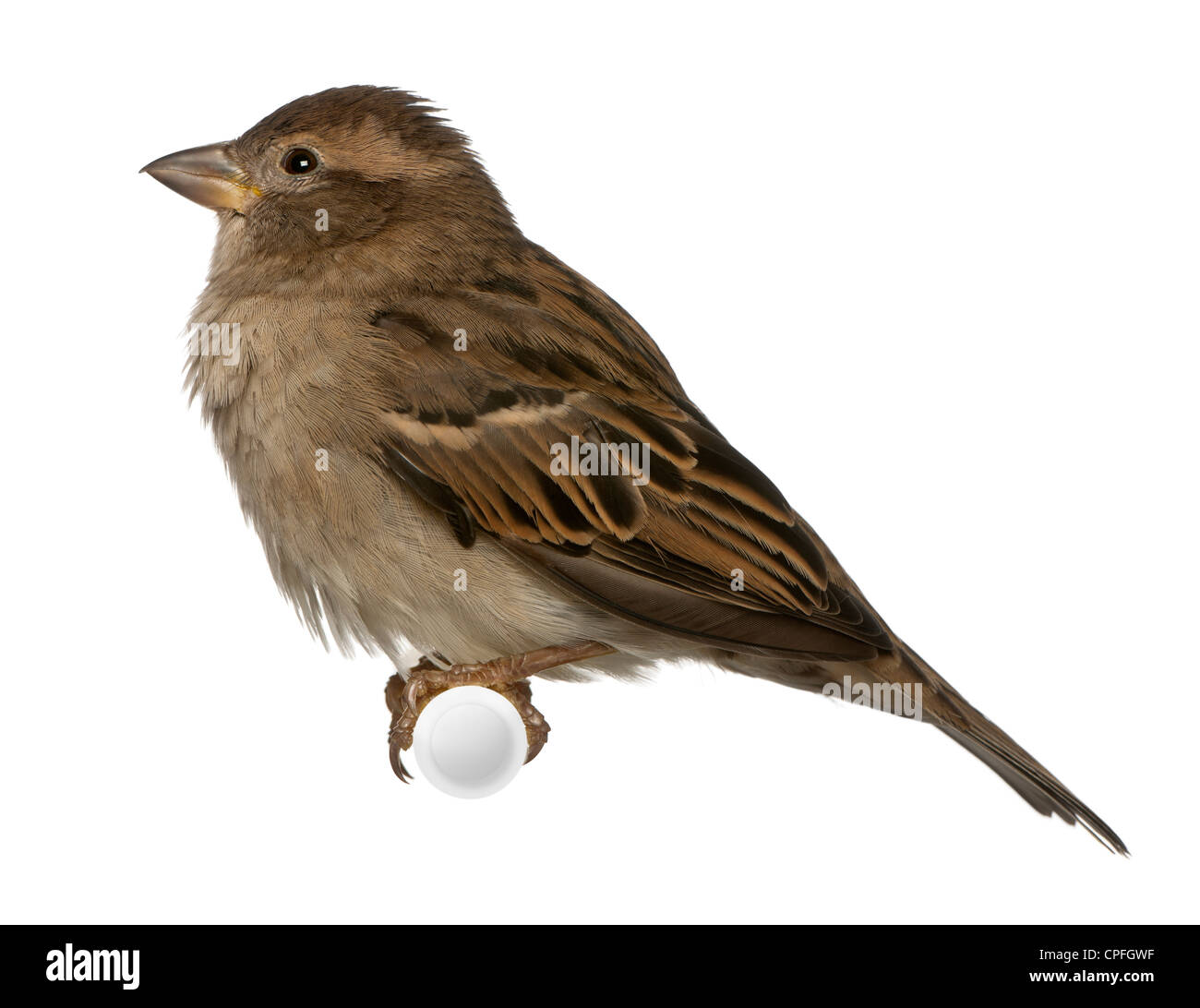 Female House Sparrow, Passer domesticus, 5 months old, perching against white background - Stock Image