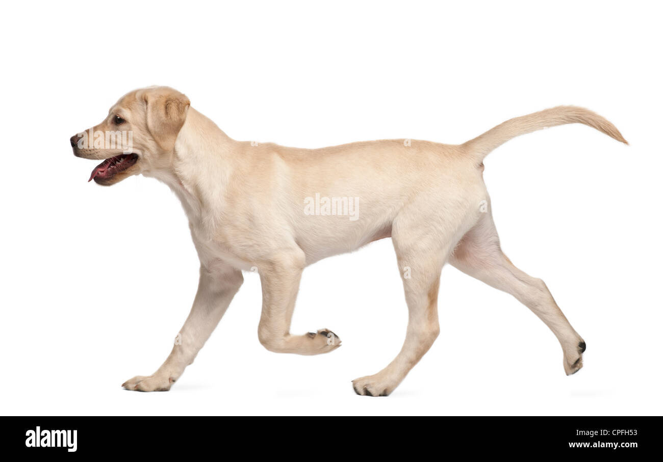Labrador Retriever, 4 months old, walking against white background - Stock Image