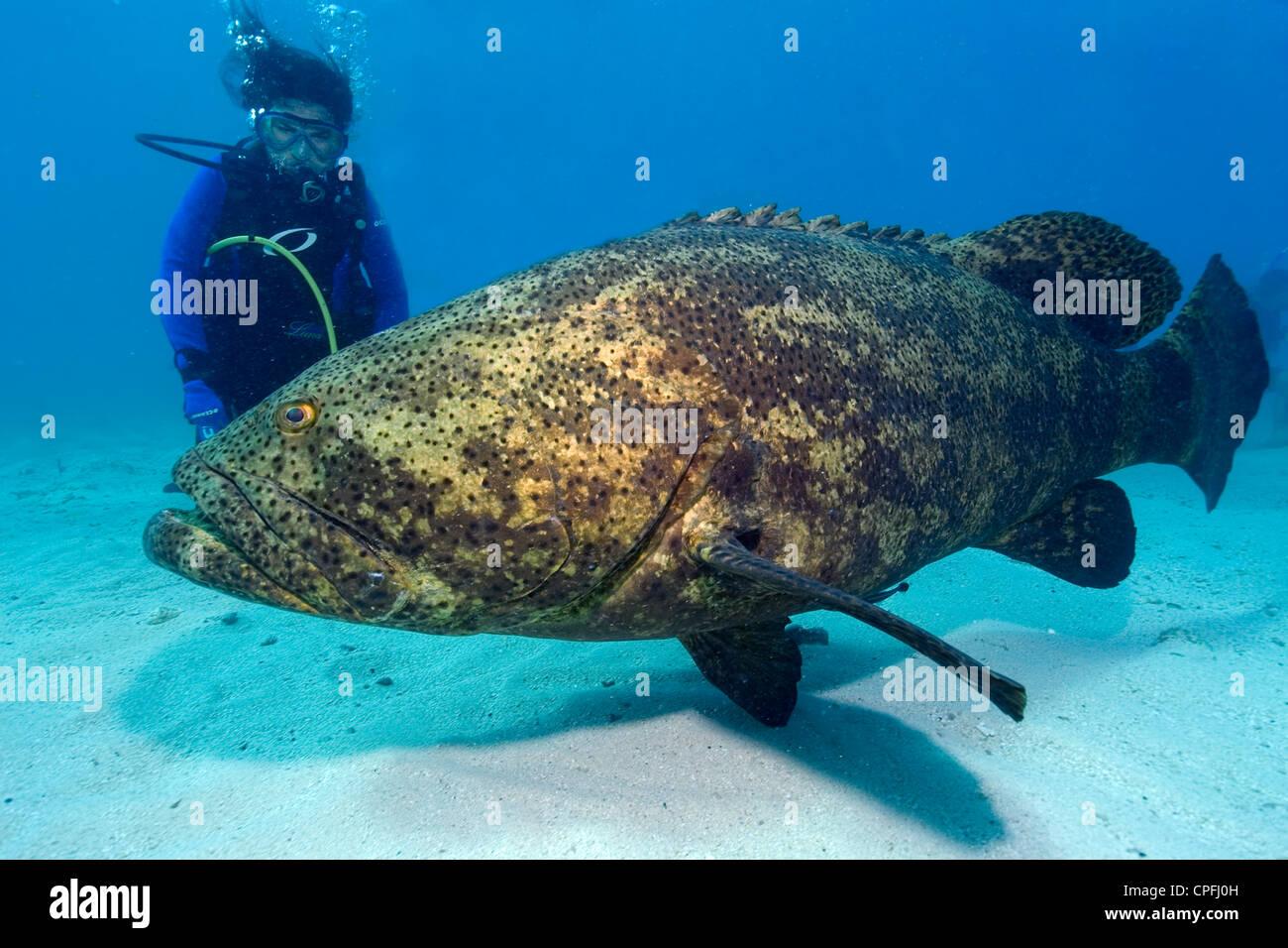 Diver Observes Goliath Grouper Epinephelus Itajara Molasses Reef Stock Photo Alamy