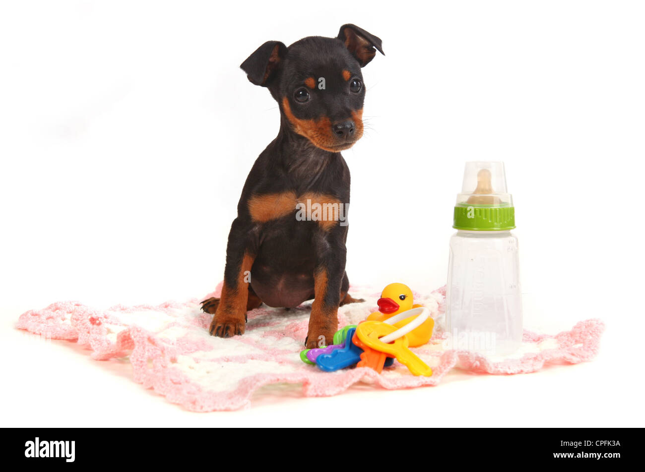 Adorable Miniature Doberman Toy Pinsher Puppy Dog on White Background - Stock Image