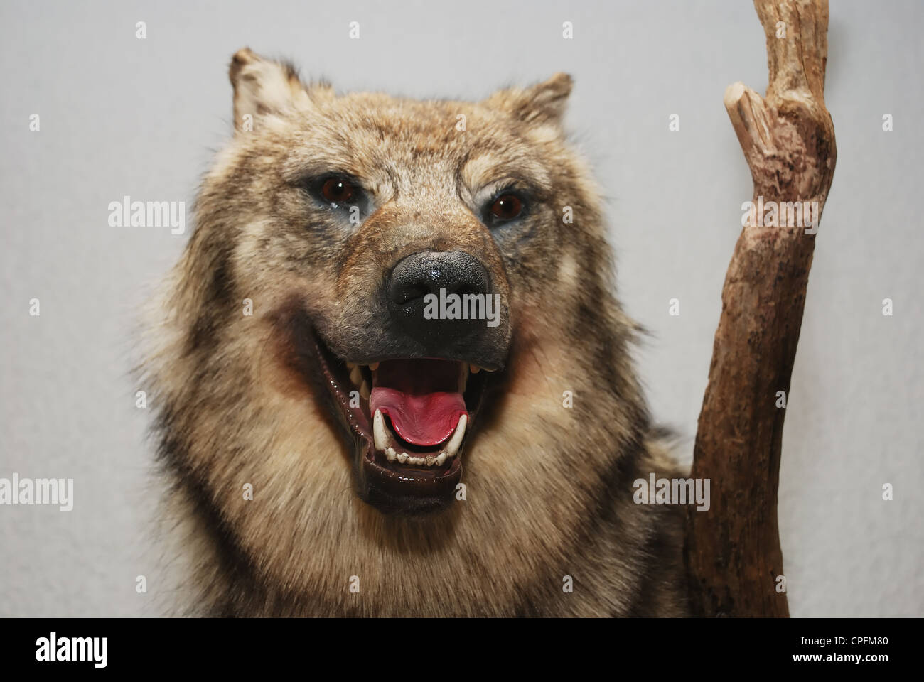 stuffed wolf head with open mouth against gray background - Stock Image