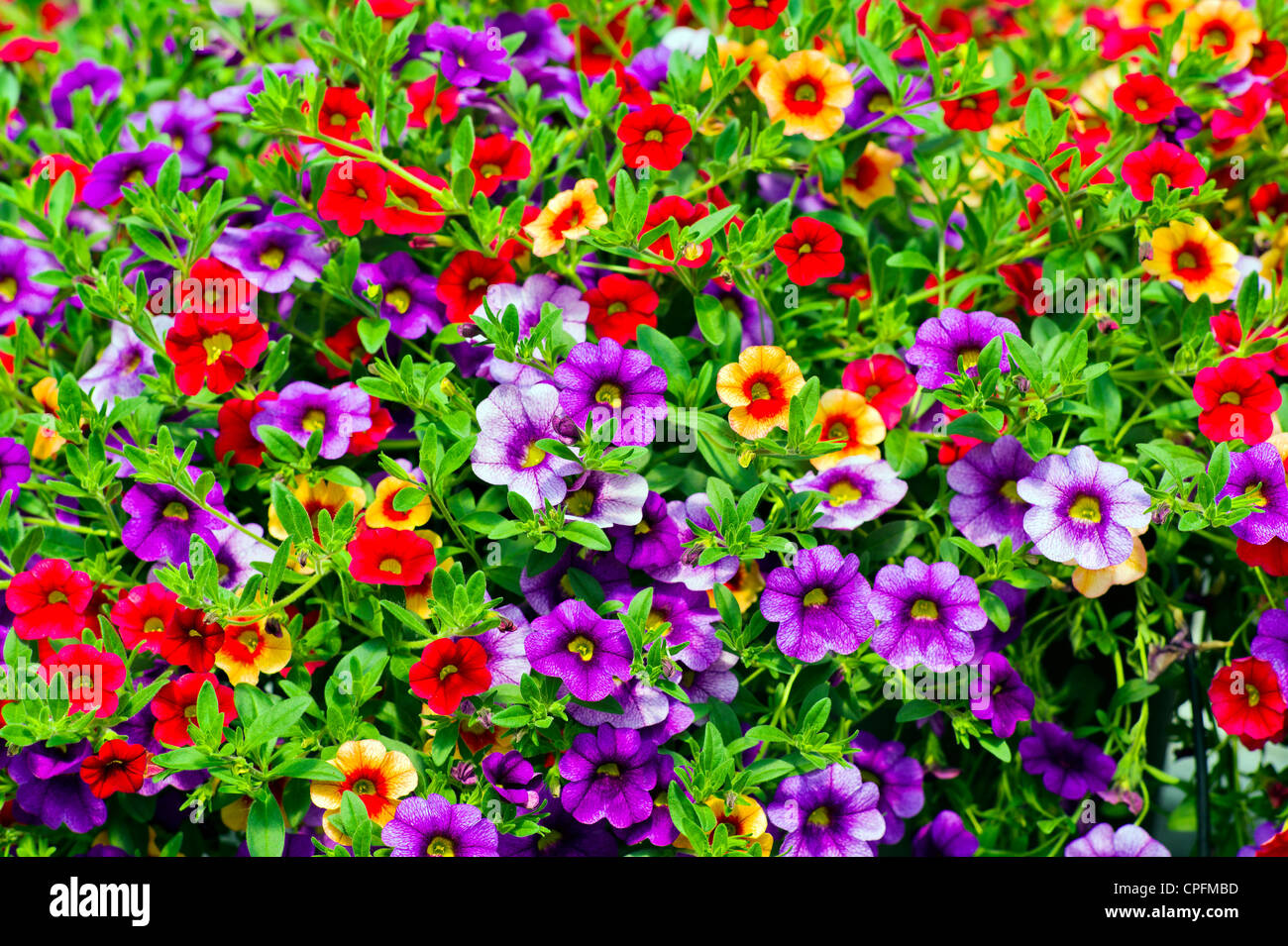 Fresh spring petunia flowers for sale at a small town nursery. - Stock Image