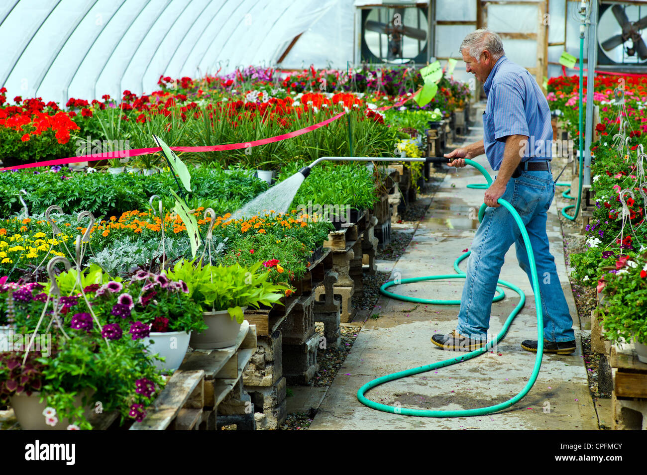 Gardener watering fresh spring flowers for sale at a small town nursery. - Stock Image
