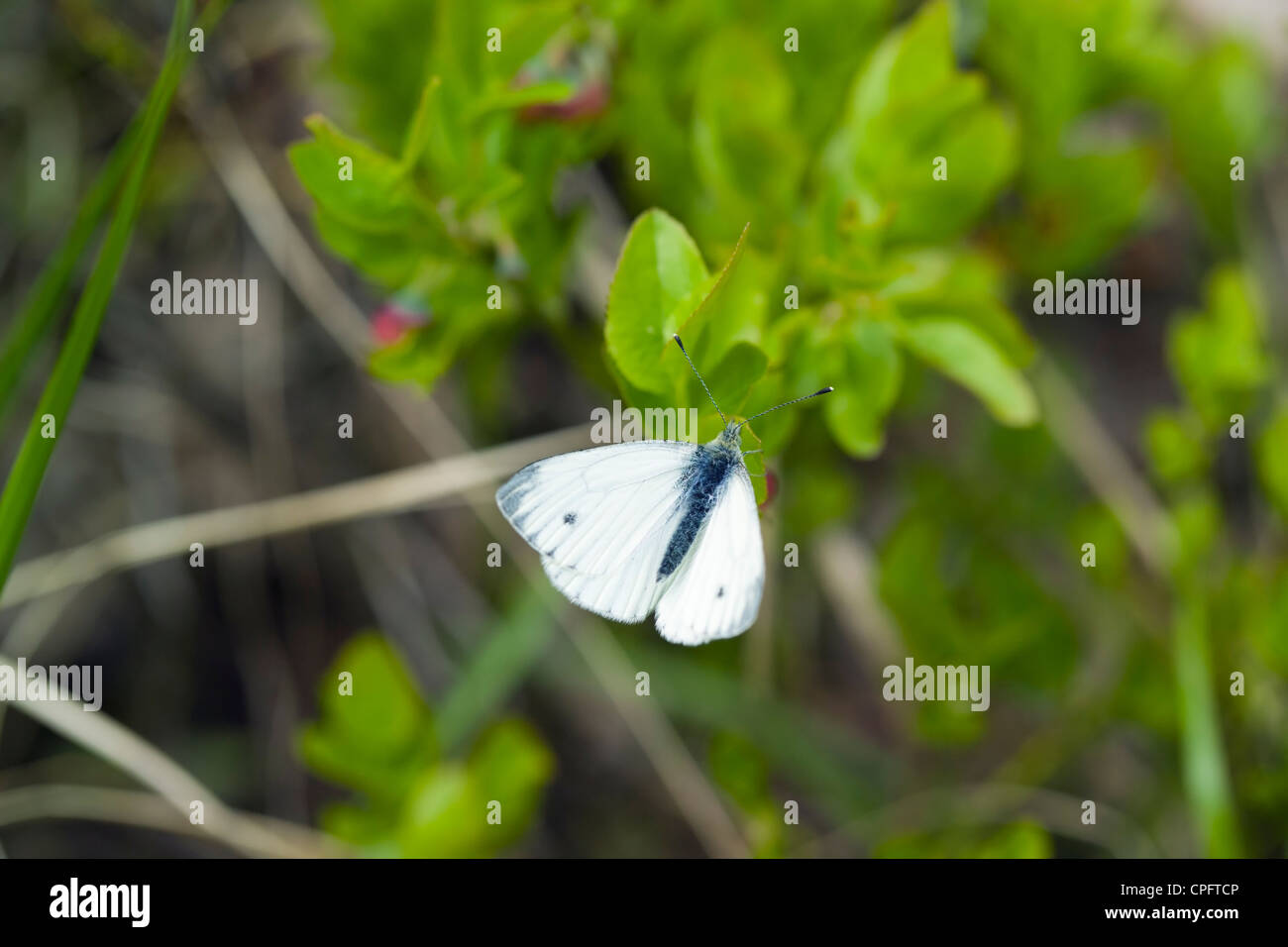 Green-veined White butterfly, Pieris napi - Stock Image