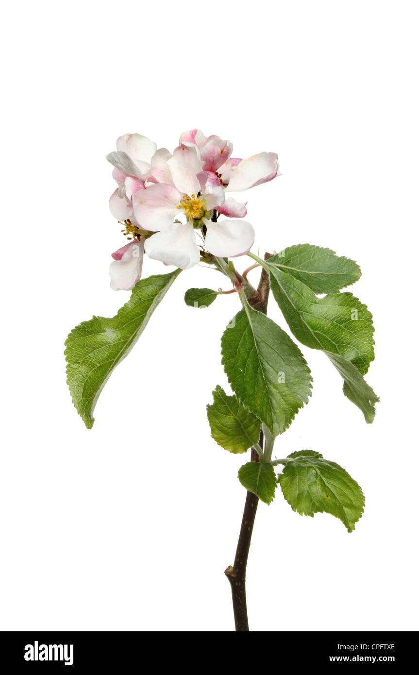 Apple blossom and leaves isolated against white Stock Photo