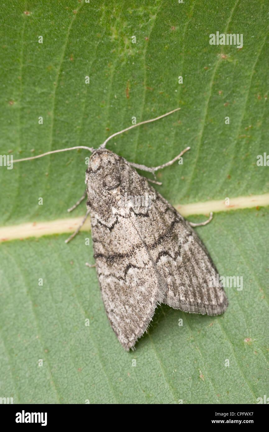 Gum leaf skeletoniser moth - Stock Image