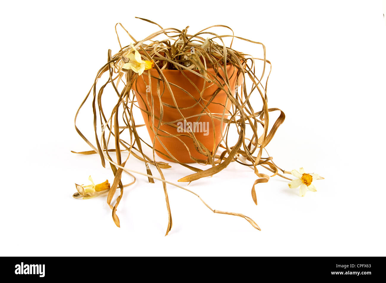 Dead plant in a pot on white - Stock Image