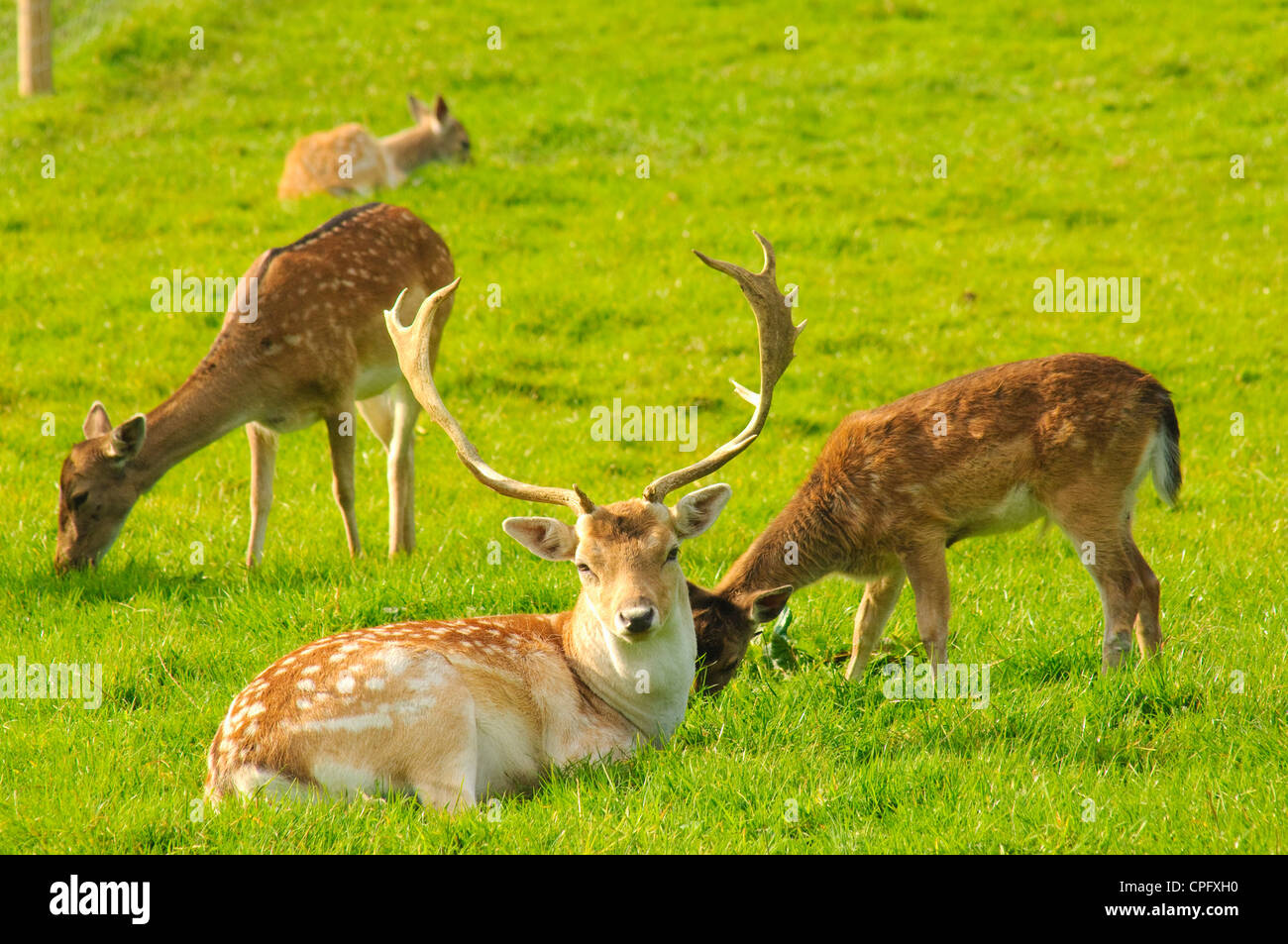Fallow deer at Bowland Wild Boar Park in the Forest of Bowland Lancashire England - Stock Image