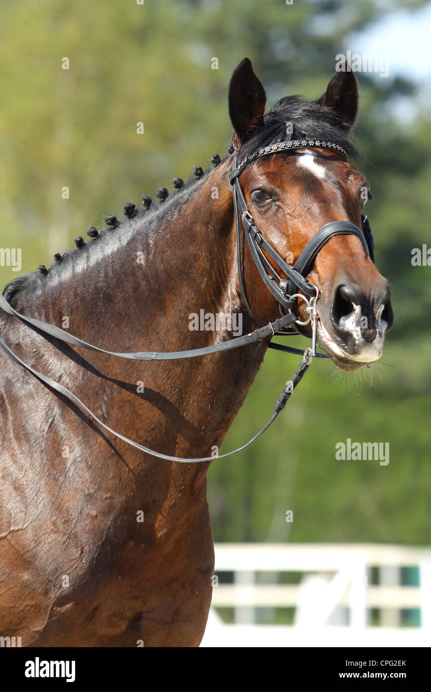 Portrait Of Dark Bay Horse At Dressage Competitions Stock Photo Alamy