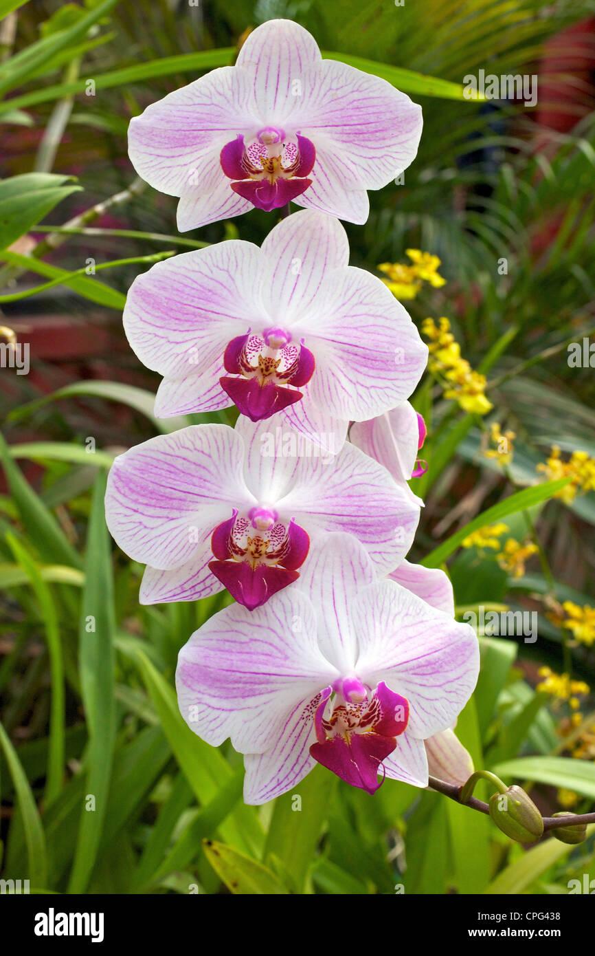 Orchid House Royal Botanical Garden Peradeniya Kandy Sri Lanka Stock Photo Alamy