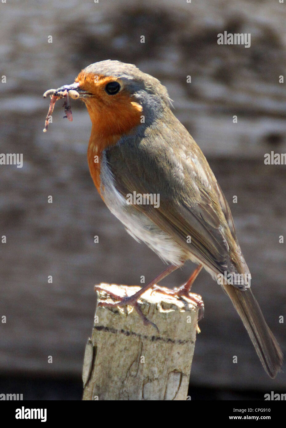 robin on a fence post in spring - Stock Image