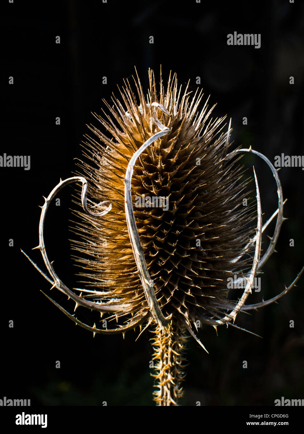 The seed head of a common teasel growing in a garden in South Yorkshire, in the UK - Stock Image
